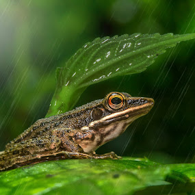 Frog in the rain by Raden Bagus Paijo - Animals Amphibians ( macro, insect, makro, animal )