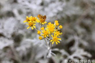 Photo: 拍攝地點: 梅峰-溫帶花卉區 拍攝植物: 銀葉菊 拍攝日期: 2014_08_18_FY