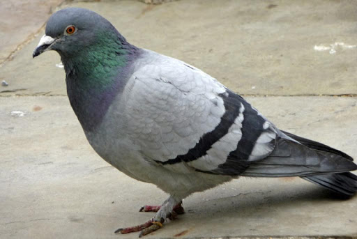 Pigeons Wallpapers HD FREE
