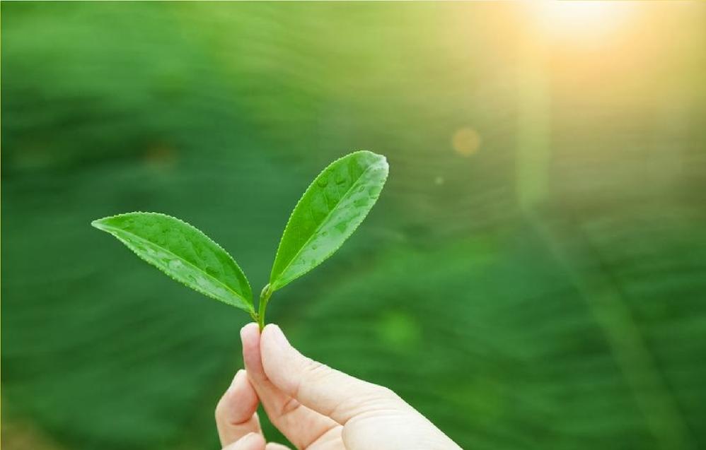 Green Tea May Have Brain Healing Properties