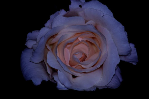 Una rosa Blu di lotus