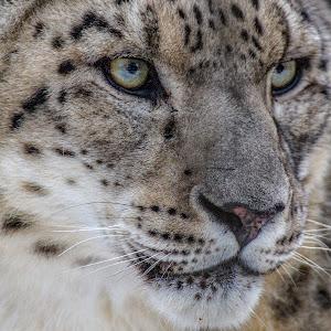 Snow Leopard close.JPG