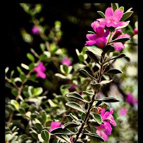 Purple Alamo Blooms by Amber Reeder Crowl - Flowers Flower Gardens ( november, purple, flowers, pretty, the alamo, garden, flower,  )