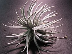 Description: Tillandsia mauryana).jpg