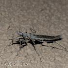 Agile ground mantis