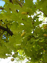 Photo: Hojas y bellotas de roble (Quercus robur)