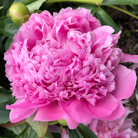 Perfect Peony by ADW Photography - Flowers Single Flower ( #flower #botanical #peony #giant #pink #bright #colourful #delicate )