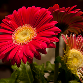 A Gift by Susan Farris - Flowers Single Flower ( plant, gift, red, blooms, daisy, pot, gerber,  )