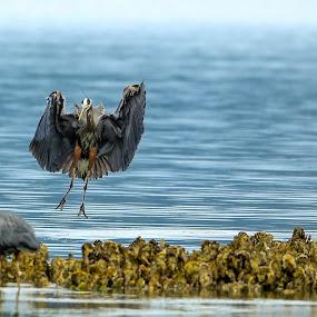 Gray heron by Janez Žalig - Animals Birds ( hunger, lakota, on the island, landing, pojedina, banquet, na otoku, lunch, pristanek, kosilo )