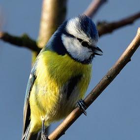 Kouzelná modřinka by Jiří Staško - Animals Birds