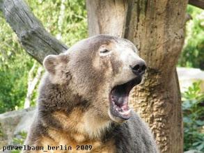 Photo: Knut muss erst einmal herzhaft gaehnen ;-)