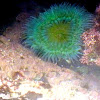 Giant Green Sea Anemone