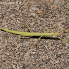 Prairie stick insect
