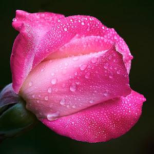 0 Rose 9853.jpg