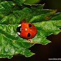 Two-Spot Ladybug