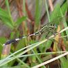 Green Marsh Hawk, Green Skimmer