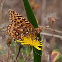 Zerene Fritillary
