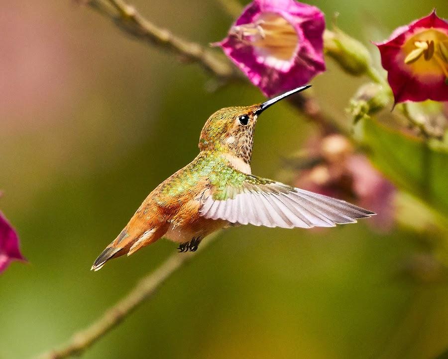 HummerFun ~ 99912~ by Raphael RaCcoon - Animals Birds