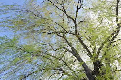 碧水神社の大木