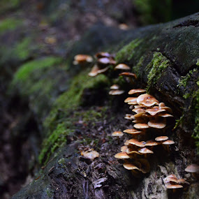by Nico Sinselmeijer - Nature Up Close Mushrooms & Fungi ( forrest, tree, autumn, woods, netherlands, mushrooms )