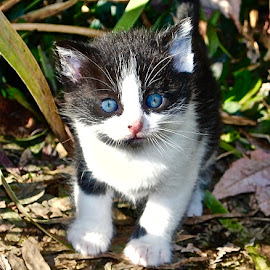 Little 'Miss Blue Eyes...' by Doug Wean - Animals - Cats Kittens ( whiskers, fur, kitten, nature, cat, baby, nature up close, cat eyes, eyes, blue eyes,  )