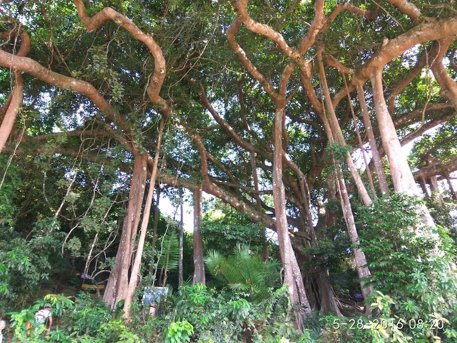 cây đa di sản