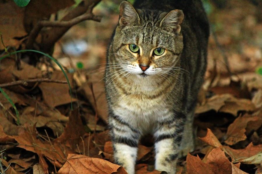 my neighbor by Asya Atanasova - Animals - Cats Portraits ( cat, brown, leaves,  )