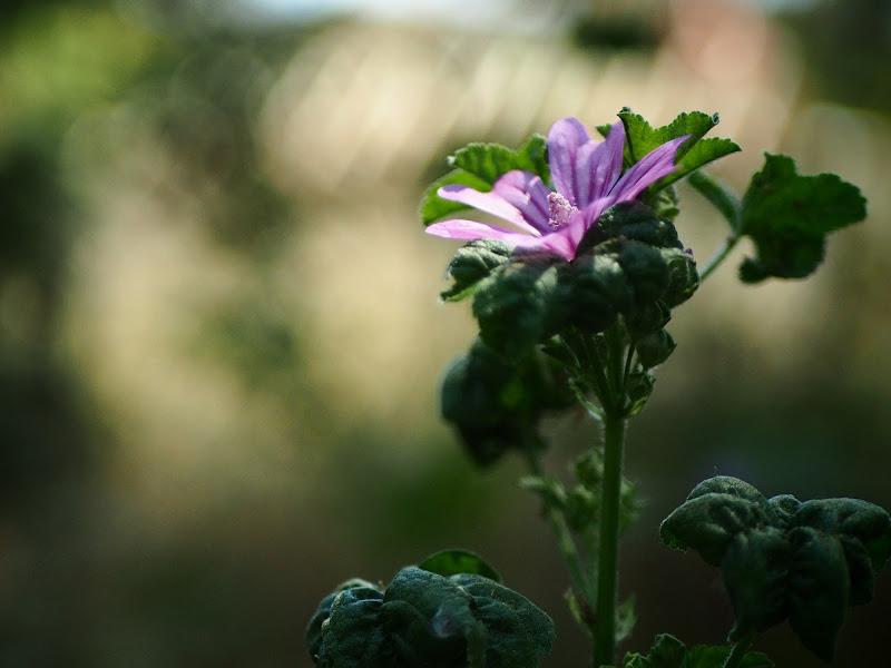 Fiore ci campo di Roberto Di Patrizi