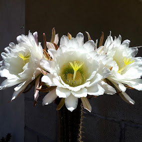 Cactus Flower Trio by Tom Carson - Nature Up Close Flowers - 2011-2013 ( spines, backlit, pistil, pollen, po;;em, fly, white, unusual, blossom, cactus )