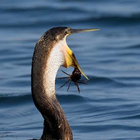 Nearly got away by Robbie Aspeling - Animals Birds ( water, bird, cormorant, eating, crab )