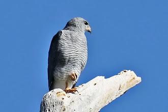 Photo: Gray Hawk