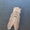 Notodontid Moth