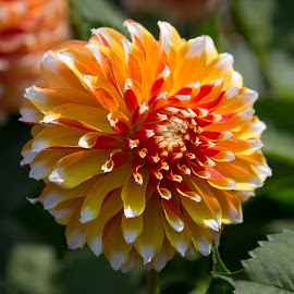 A Dahlia of Many Colors by Janet Marsh - Flowers Single Flower ( dahlia, orange and yellow )