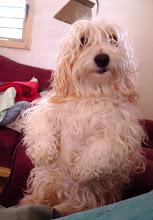 Photo: havanese dog, cuba. Tracey Eaton photo