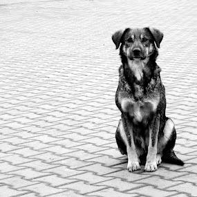 dog by Sorin Rizu - Animals - Dogs Portraits ( street, white, dog, black, city,  )