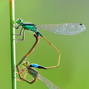 !B by Irfan Marindra - Animals Insects & Spiders ( macro, bugs, grass, damselfly, insects )