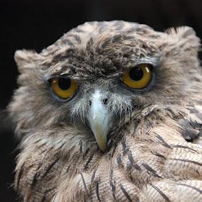 Owl by Yash Savla - Animals Birds