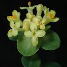 Yellow Rice Flower