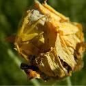 Yellow Crab Spider