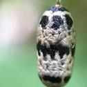 Cocoon of Ichneumon Wasp