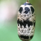 Cocoon of Ichneumon Wasp