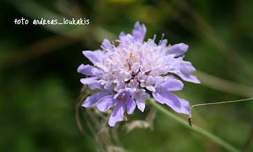 Photo: ΚΝΑΟΥΤΙΑ knautia integrifolia -Κουφολάχανο- ΘΡΥΠΤΗ