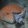 Box Crab