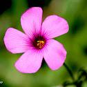 Pink Woodsorrel