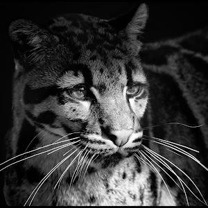 Clouded Leopard-2.jpg
