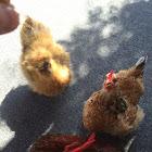 Silkie Chicken (hen)