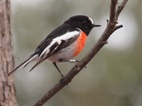 Photo: Scarlet Robin
