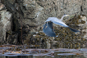 Photo: A Great Blue Heron takes off as we approach.