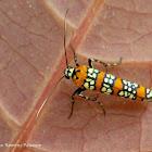Alianthus Webworm Moth