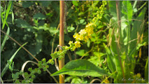 Photo: Turița mare (Agrimonia eupatoria) - din zona Badeni, Cluj - 2016.07.16 album diverse http://ana-maria-catalina.blogspot.ro/2017/05/plante-diverse-din-comert.html
